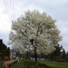 Magnolia Kobus - Magnolie alba