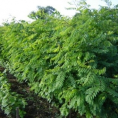 Robinia Pseudoacacia - Salcam