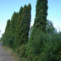 "Thuja Occidentalis ""Columna"" - Tuie columnara"