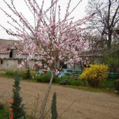 """Prunus Piersica """"Atropurpurea"""" - Piersic rosu"""