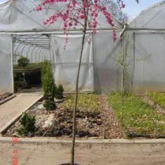"Prunus piersica ""Pendula"""
