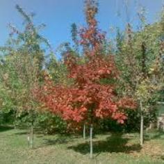 Qeurcus Rubra - Stejar rosu
