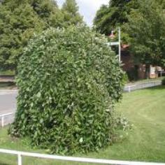 Salix Capraea Pendula