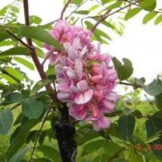 "Robinia Pseudoacacia ""Hispida"" - Salcam roz"