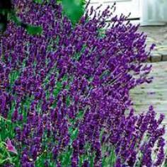 """Lavandula angustifolia  """"Hidcote"""""""
