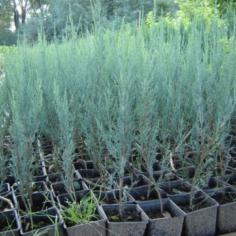 """Juniperus Virginiana """"Skyraket"""""""
