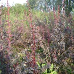 Berberis Thumbergii Atropurpuraea