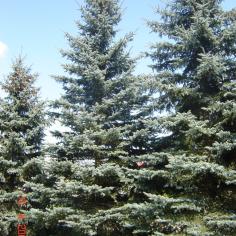 "Molid Argintiu din seminte - Picea pungens ""Argentea"""