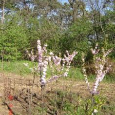 Prunus Triloba