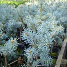 "Picea Pungens ""Glauca"" - Molid argintiu altoit"