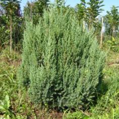 """Juniperus Chinensis""""Strita"""" - Ienupar"""