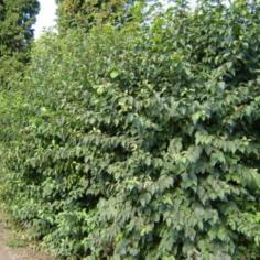 Cornus Sanguineea - Sanger