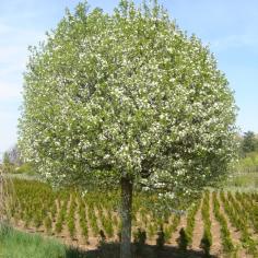 "Prunus Mahaleb ""Globosum"" - Visin globular"